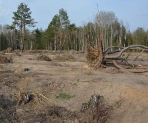 obnovené písčiny u borovice v březnu 2014